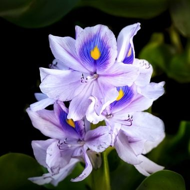 Water Hyacinth NW