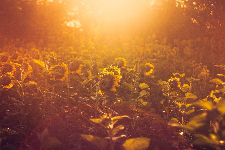 Sunrise over sunflower field