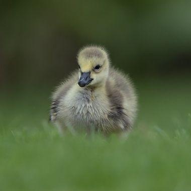 Canadian Gosling DSC09367