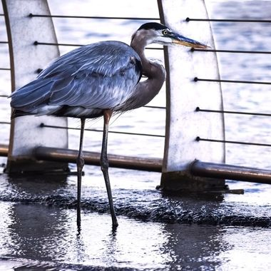 Peering Through the Fence Gr Blue Heron NW