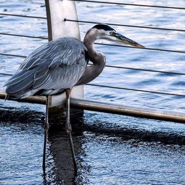 Great Blue Heron Peeking Through the Fence NW
