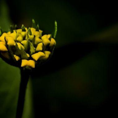 Meadow Zizia in dark light NW