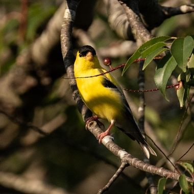 Male American Gold Finch sitting in a Wild Cherry Tree just before sunset.