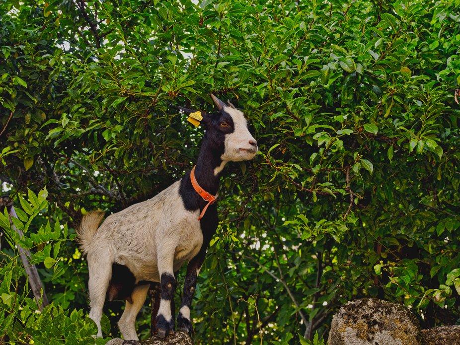 La pequeña cabrita salió de su corral y se dedicó a pasear por la aldea, subiéndose a los mur...