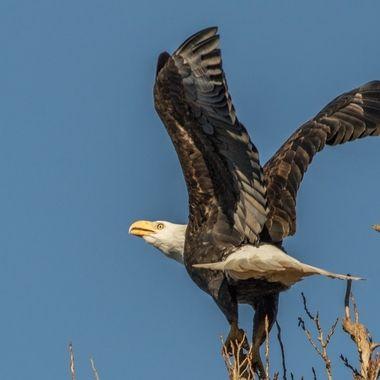 0P6A0990 Bald Eagle