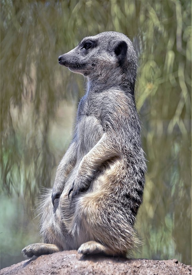 Meerkat - On Guard Duty