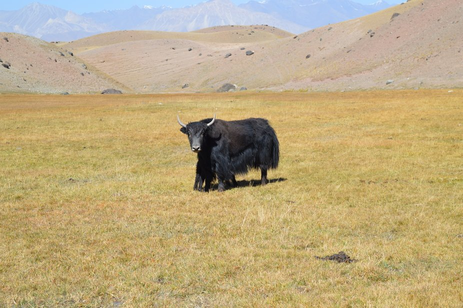 How many legs this yak has? It is just a baby yak hiding in the parental safe hug.