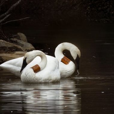 Dark Art Collection: Swans