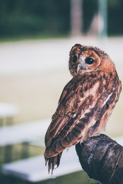 Proud and beautiful owl