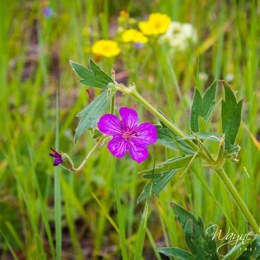 Purple Montana flower