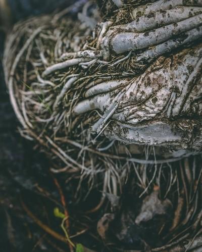 Das Roots