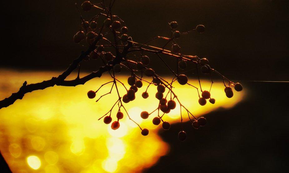 China berry sunrise