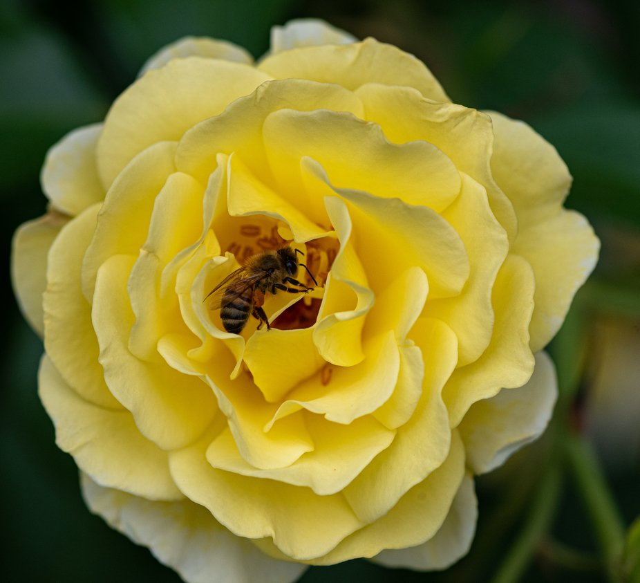 Honey Bee in a Yellow Rose