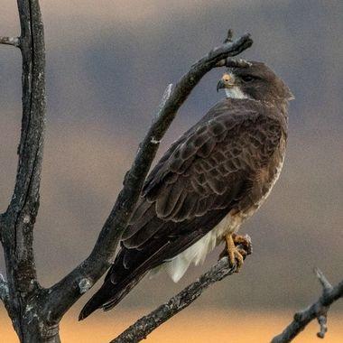 0P6A7107-2 Swainson's Hawk