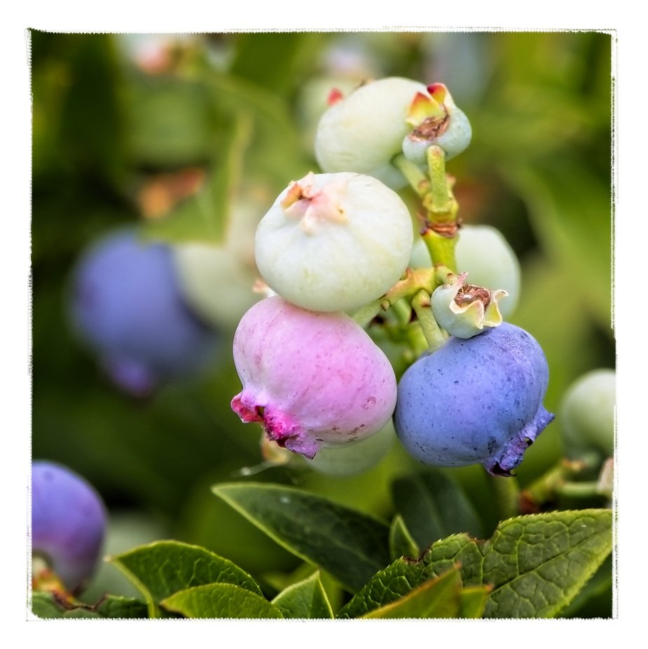 Close-up of blueberries in the different stages of ripening...