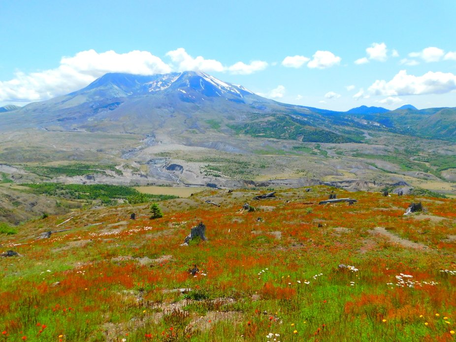 Mount Saint Helen's with wildflowers in the foreground and old stumps from the trees tha...
