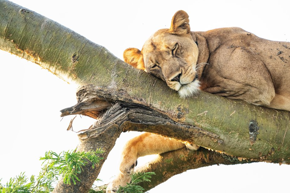 Queen Elizabeth National Park, where lions sleep in trees.