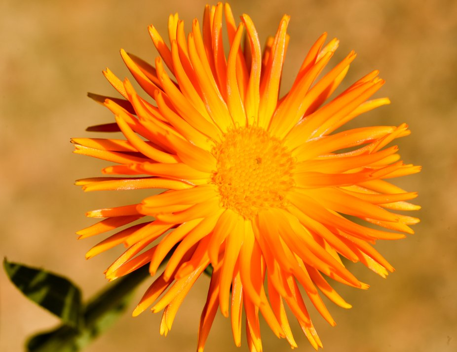 _DMP8443(Ray of Sunshine -Calendula Orange flame)