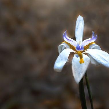 African Iris NW