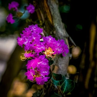Crepe Myrtle Blossoms NW