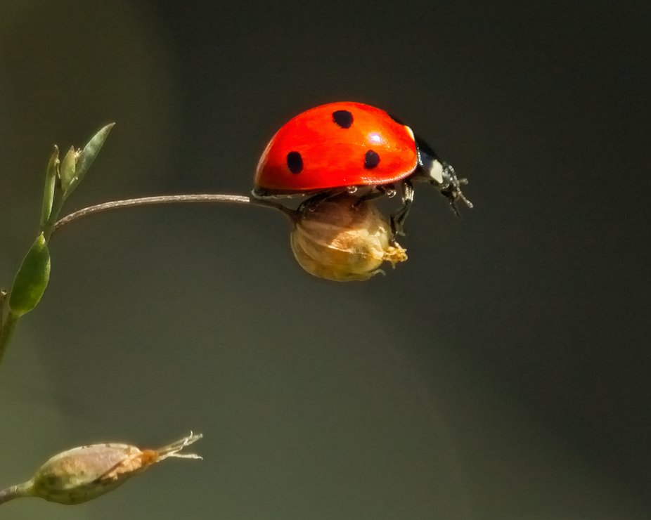 A ladybug at the end of the stem of a flax plant in our yard...