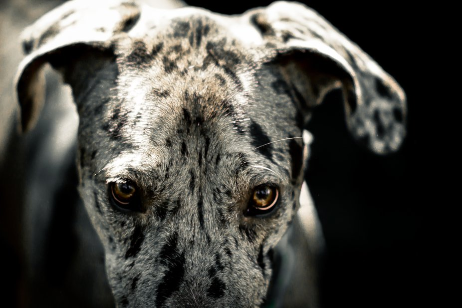 Just a photo of our great dane, Dory.
