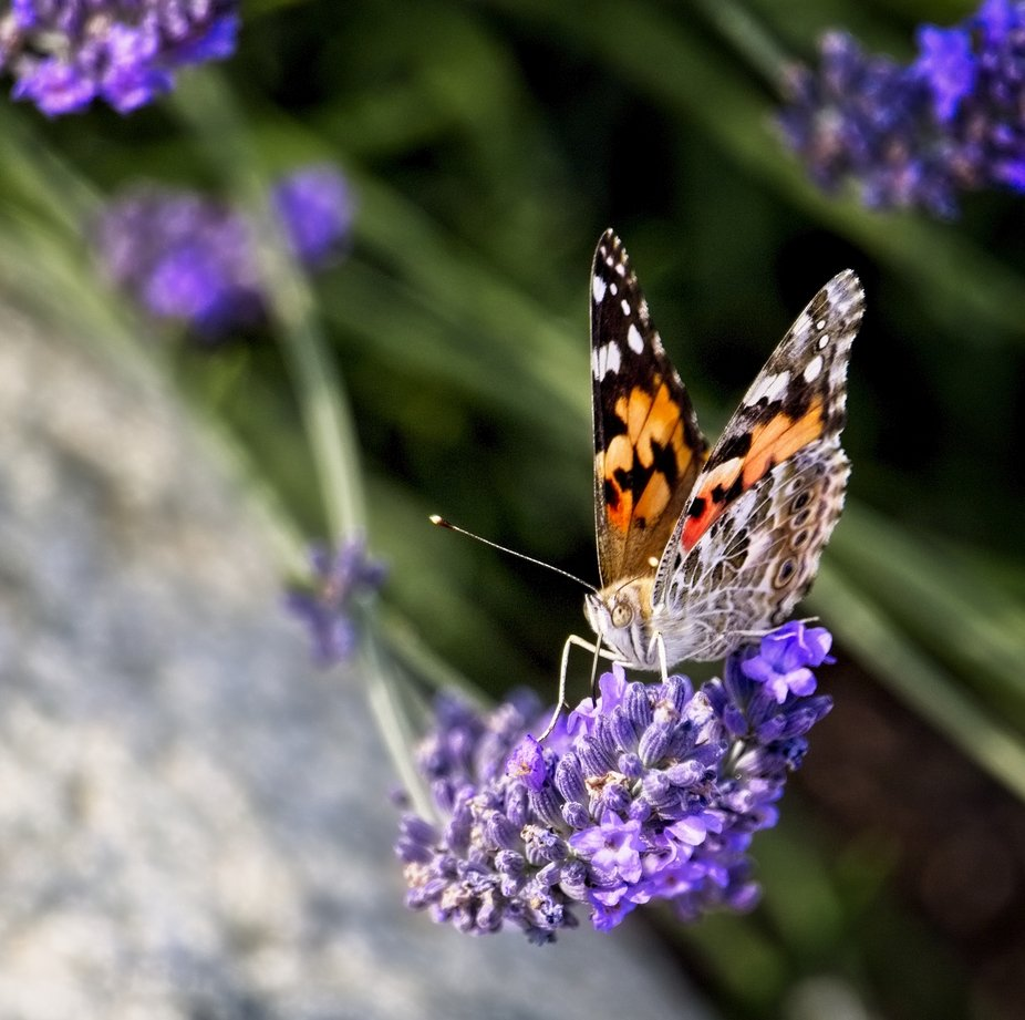 A butterfly sits at the end of a stem of a lavender plant in our yard....