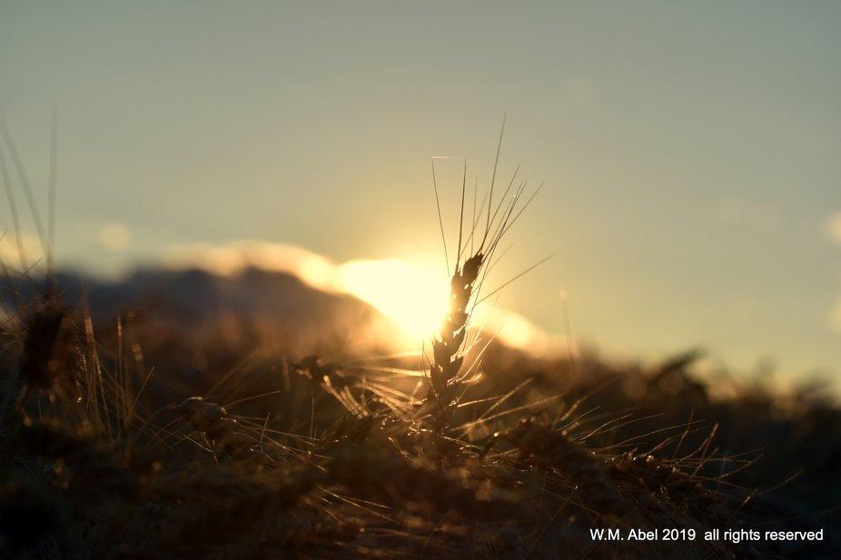 sunset thru wheat-001.JPG