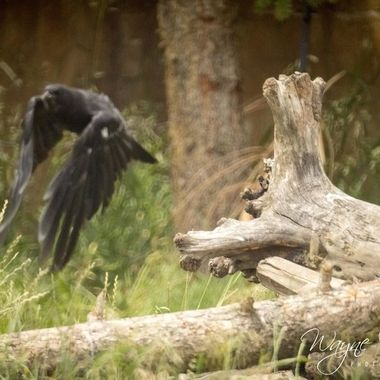 Two ravens were at the Grizzly Encounter while we were there. Was able to catch one taking off. Such a cool place to visit and they do tons of bear teaching. It's a fantastic habitat for the four bears they have there. I highly recommend it.