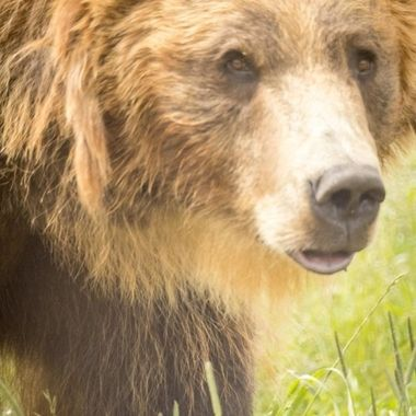 More of Bella the Grizzly at the Montana Grizzly Encounter.