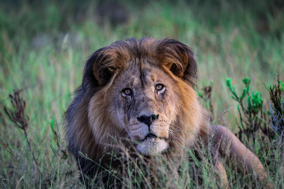 Portrait of male lion in Africa