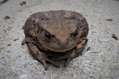 Commun Toad