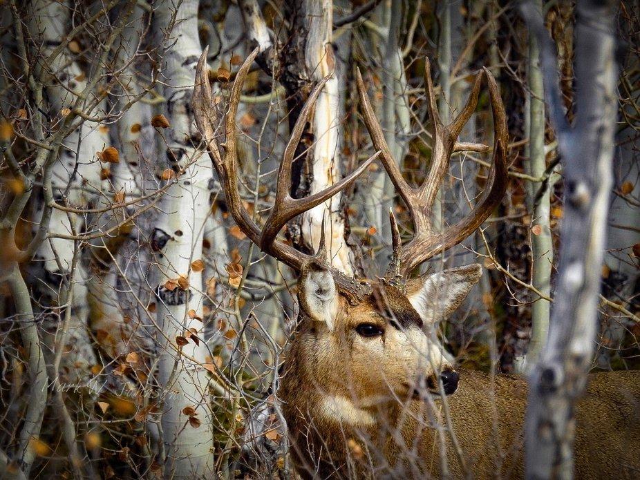 Mule deer in aspens