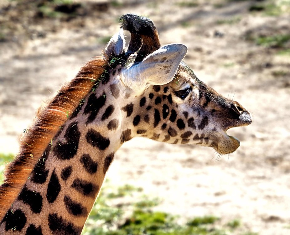 Baby giraffe with something to say