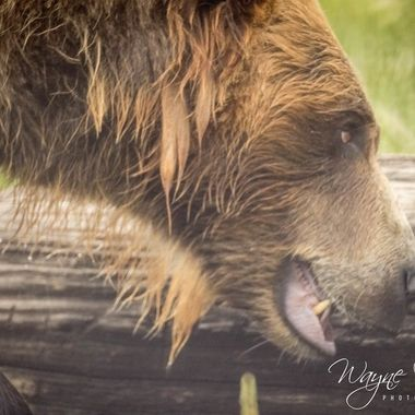 More of Bella the Grizzly
