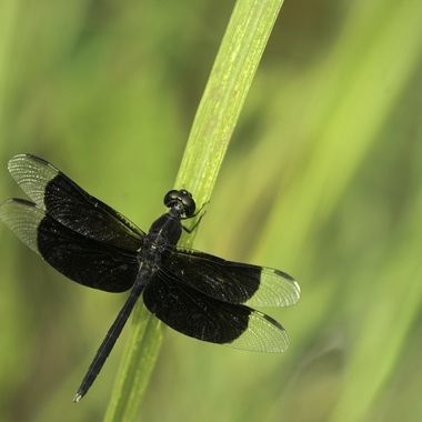 A pretty rare dragon - Una libelula poco comun y de color muy diferente