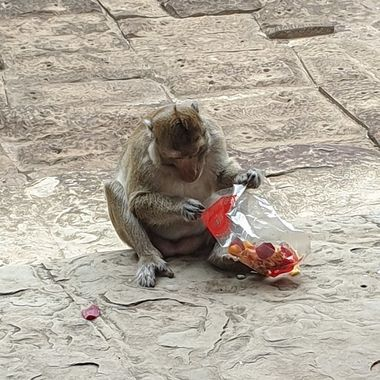 Angkor Watt, Cambodia. This monkey pinched a tourist's handbag and was enjoying the crisps from the packet that he found inside. The tourist did manage to get her handbag back minus her crisps!