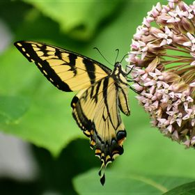 Swallowtail Butterfly sipping the sweet milkweed nectar through its extended proboscis...