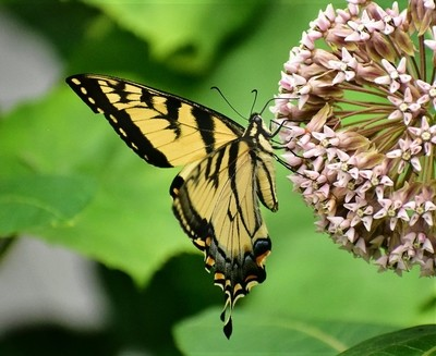 Swallowtail Butterfly and Milkweed