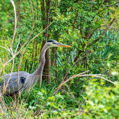 Great Blue Heron waiting in the weeds at the edge of the pond in my backyard.