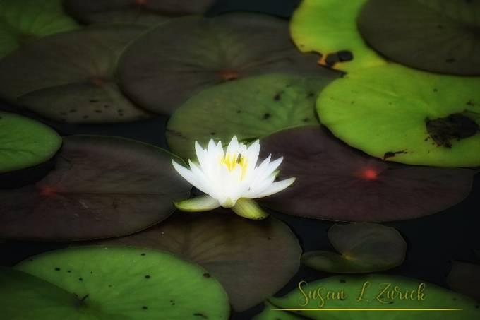 Beautiful lily pad