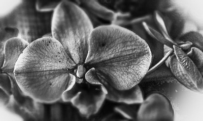 Black and white macro photo orchids