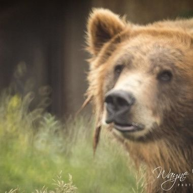 Bella was playful, she got into one of the ponds and was playing with a large branch.  The Montana Grizzly Encounter, Bozeman, MT.