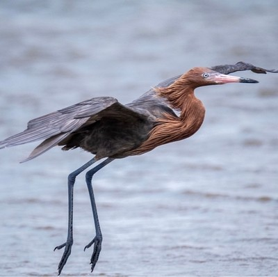 Reddish Egret about to touch down in shallow water for a little fishing.