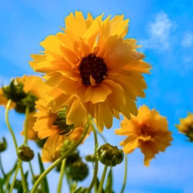 Willowleaf Sunflower NW