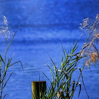 Water Reeds Whispering in the Winds NW