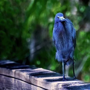 Baby Blue Heron NW