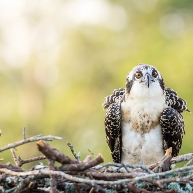 Juvenile Osprey in the nest was not happy with my boat of photographers leaving the marina