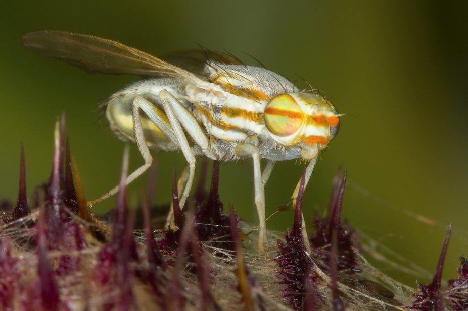 Terellia serratulae (Fruit Fly) 5