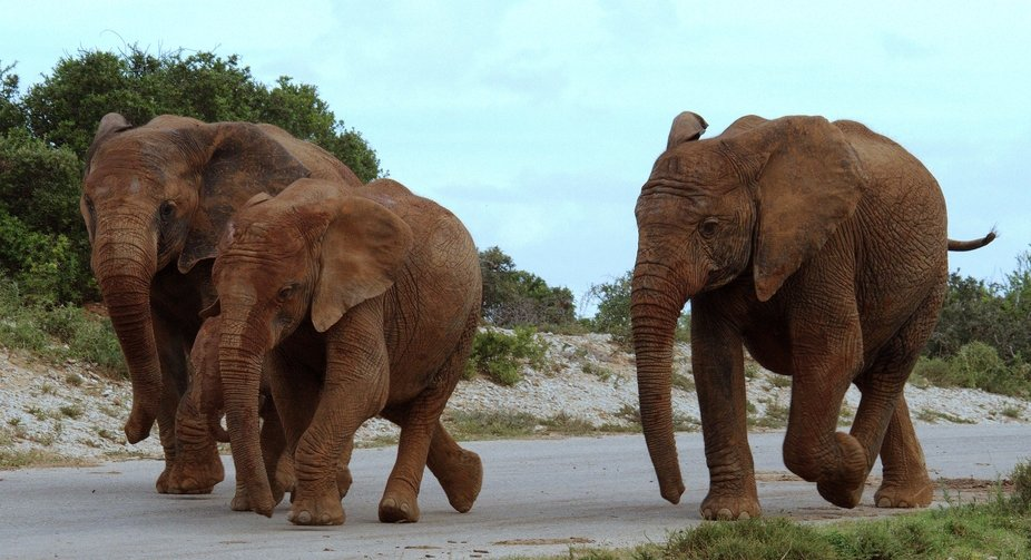 The young elephants of the Addo Nature Reserve in the Western Cape